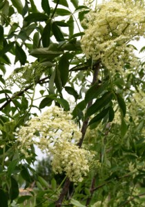 Elderberry blossoms