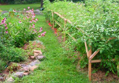 Tomatoes and echinacea