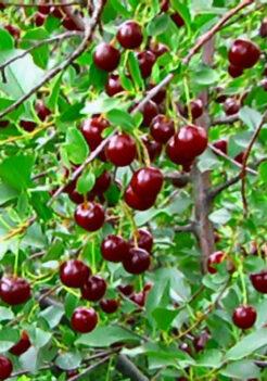 Cupid bush cherry