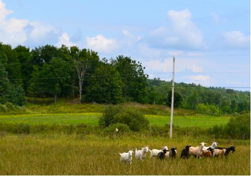 Goat paradise