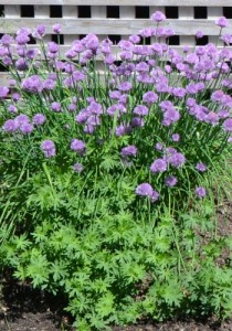 Nice chives
